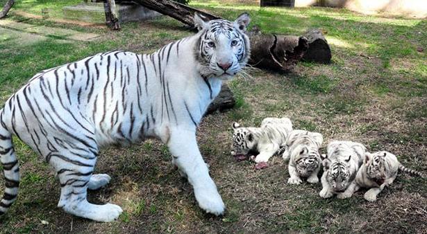 tigres blancos en el zoo de buenos aires